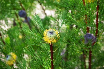 isopogon curramoors