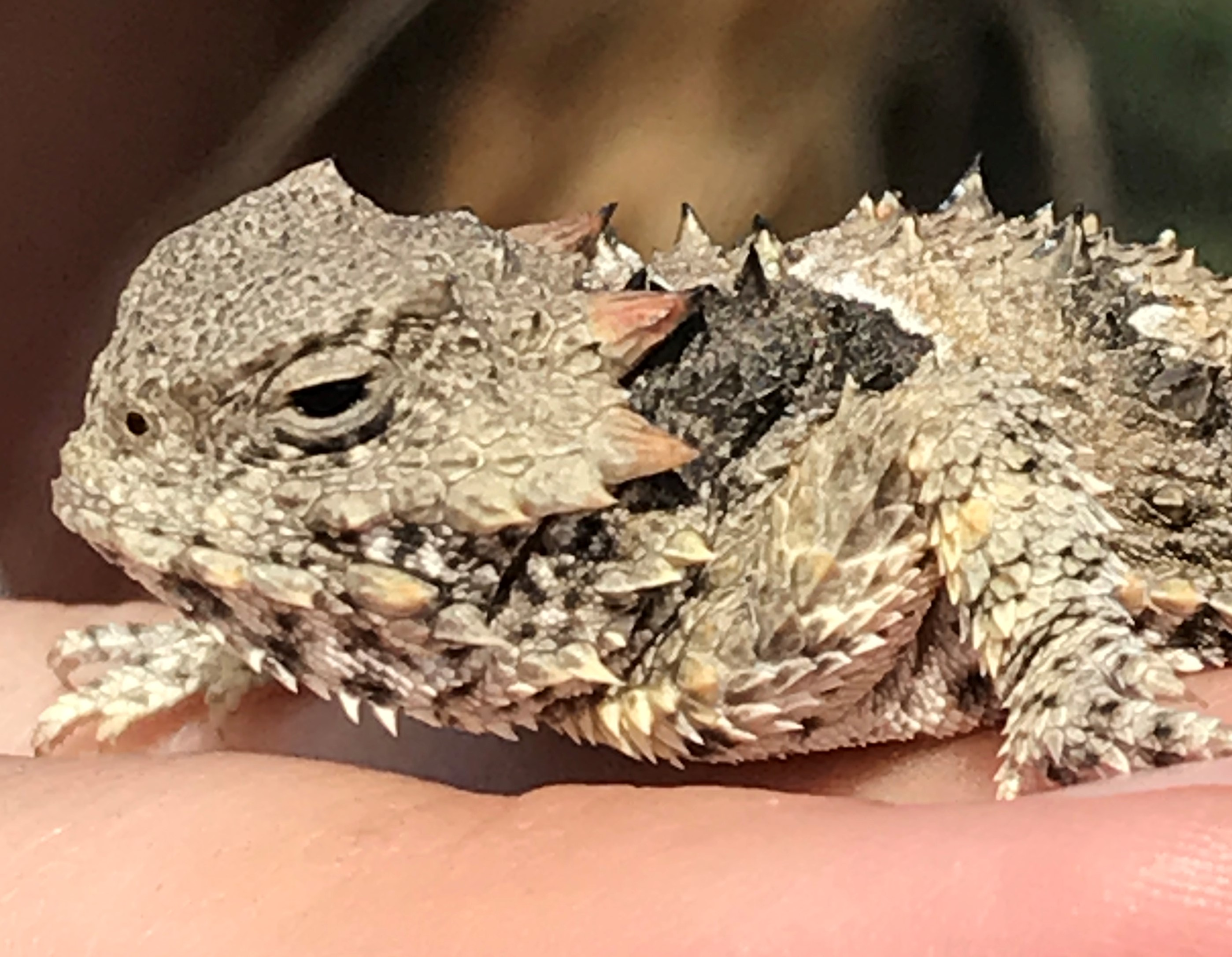 fort-ord-17-horned-lizard.jpg