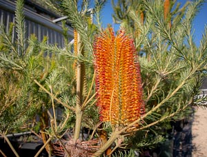 banksia ericifolia photo