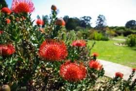 Pincushions (Lecuospermum) in the South African garden
